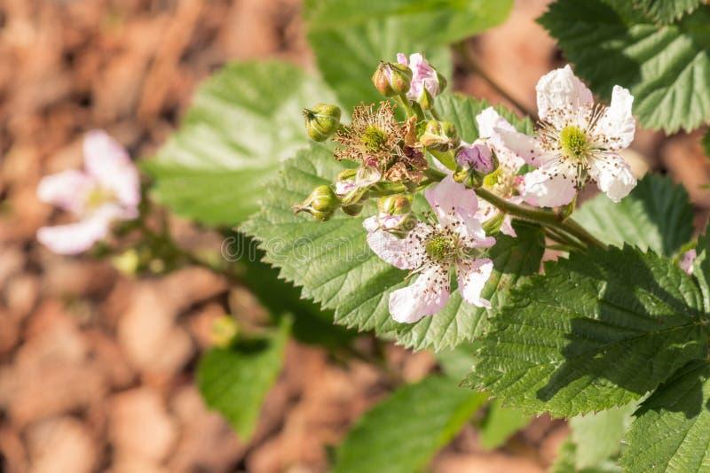 Fleurs et bourgeons de Blackberry en fleur image libre de droits