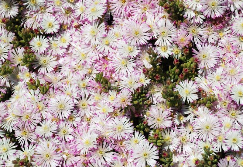 Fleurs et bourgeons de l'aster gel-robuste photographie stock libre de droits