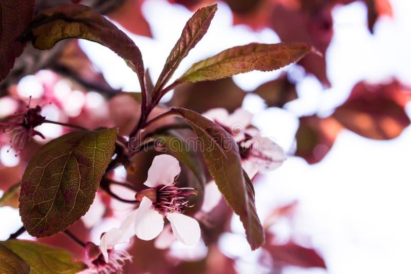 Fleurs et bourgeons de ressort photographie stock libre de droits