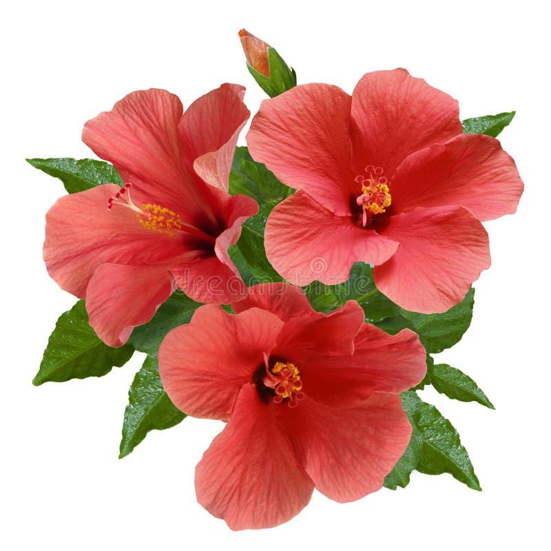 Fleurs et bourgeons roses de ketmie photos libres de droits