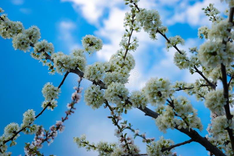 Fleurs et ciel du ` s de pommier image libre de droits
