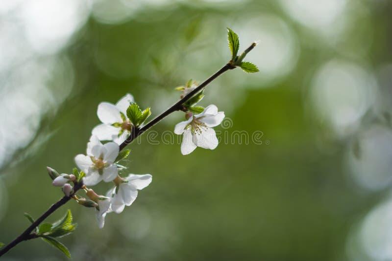 Fleurs et ciel du ` s de pommier photos libres de droits