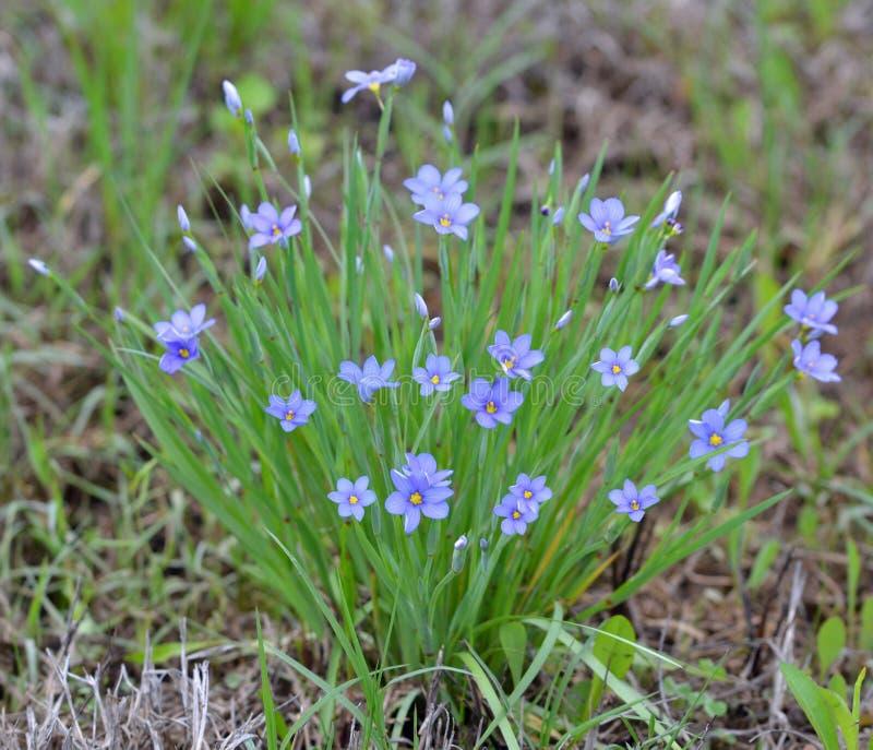 Fleurs et croissance d'herbe observées par bleu typique photographie stock libre de droits