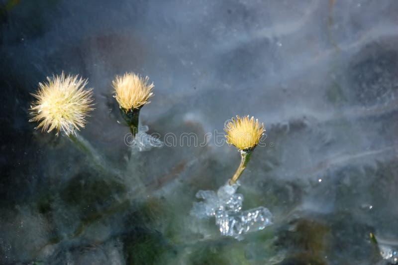 Fleurs et détail de glace image stock