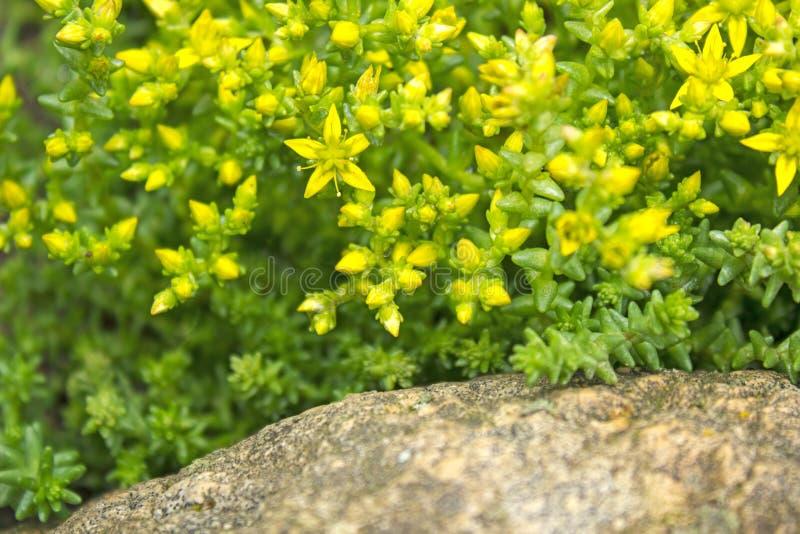 Fleurs et feuilles de succulents de Уellow sur une roche photo stock