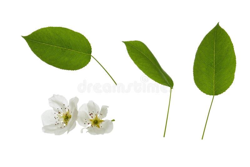 Fleurs et feuilles vertes de poirier d'isolement sur le fond blanc photographie stock