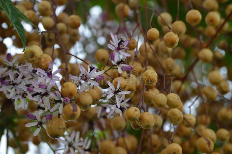 Fleurs et fruit d'azedarach de Melia images libres de droits