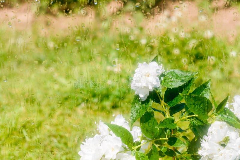 Fleurs et guirlandes l?g?res derri?re le verre humide Fen?tre moite Baisses de l'eau sur la glace Lumi?res brouill?es Surface tra photos stock