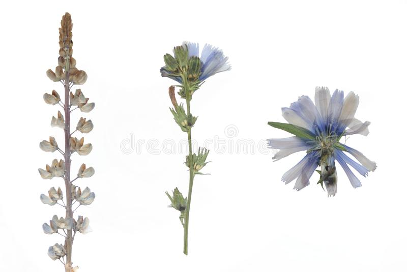 Fleurs et herbier secs image libre de droits