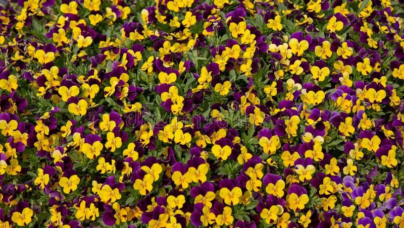 Fleurs et lilas jaunes un fond idéal image stock