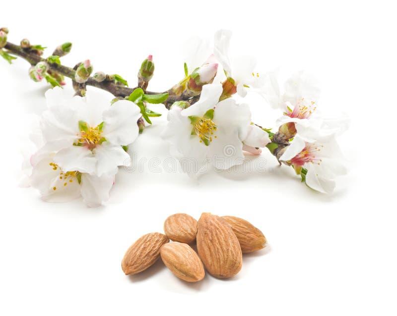 Fleurs et noix d'amande image libre de droits