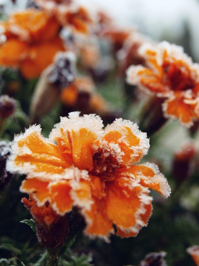 Fleurs figées photographie stock