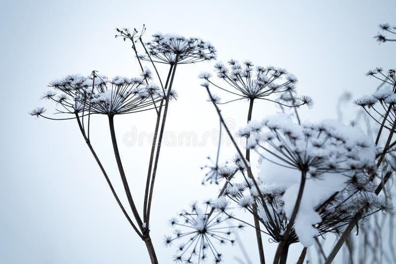 Fleurs figées de parapluie couvertes de neige photo libre de droits