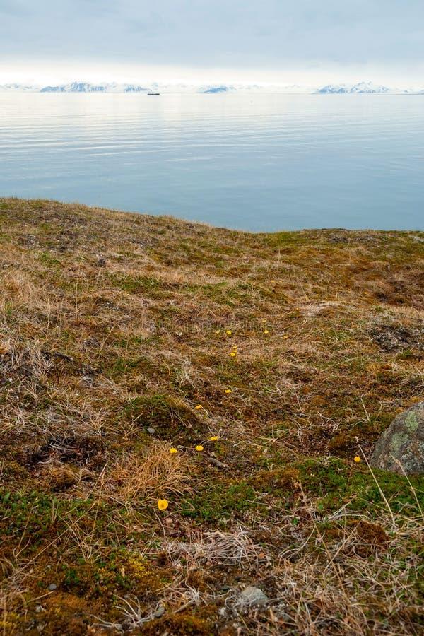 Fleurs fleurissant dans la toundra arctique en été, le Svalbard image libre de droits