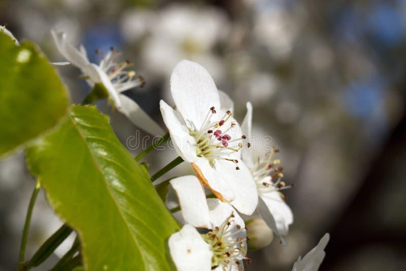 Fleurs fleurissantes de poires photographie stock