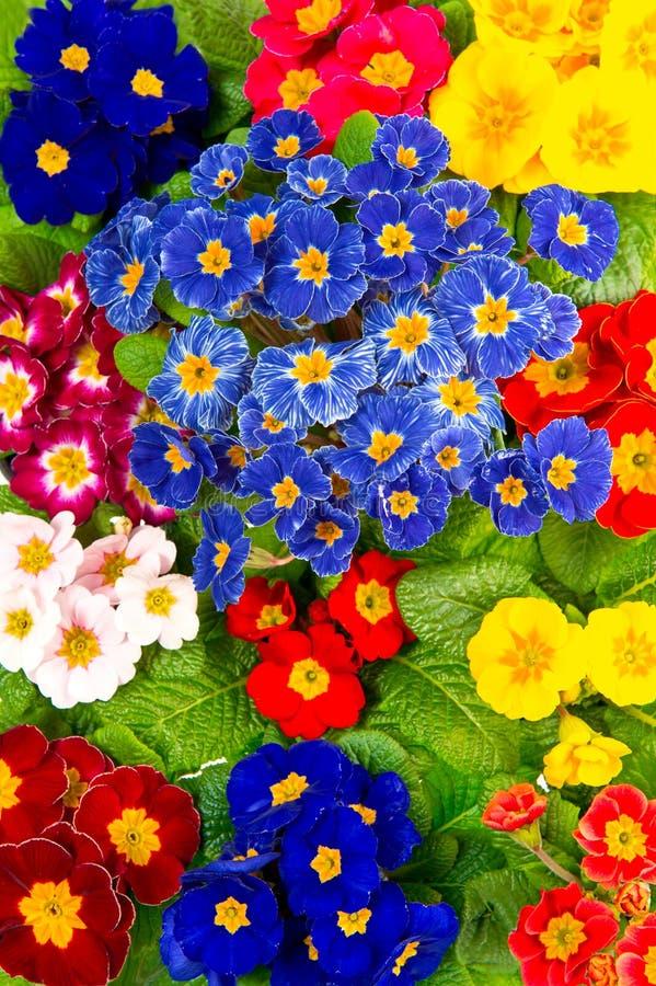 Fleurs fraîches colorées de primula de source photos libres de droits