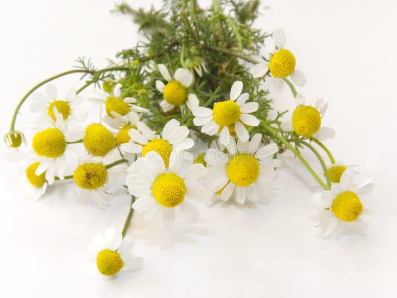 Fleurs fraîches de camomille photographie stock libre de droits