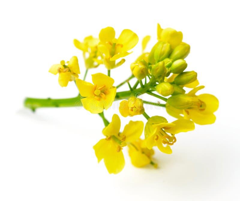 Fleurs fraîches de canola sur le blanc photo stock