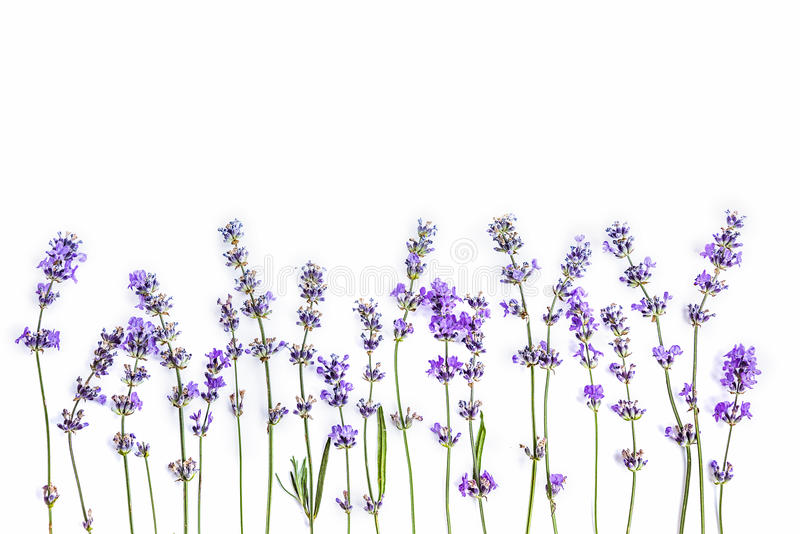 Fleurs fraîches de lavande sur un fond blanc Les fleurs de lavande raillent  Copiez l'espace image libre de droits