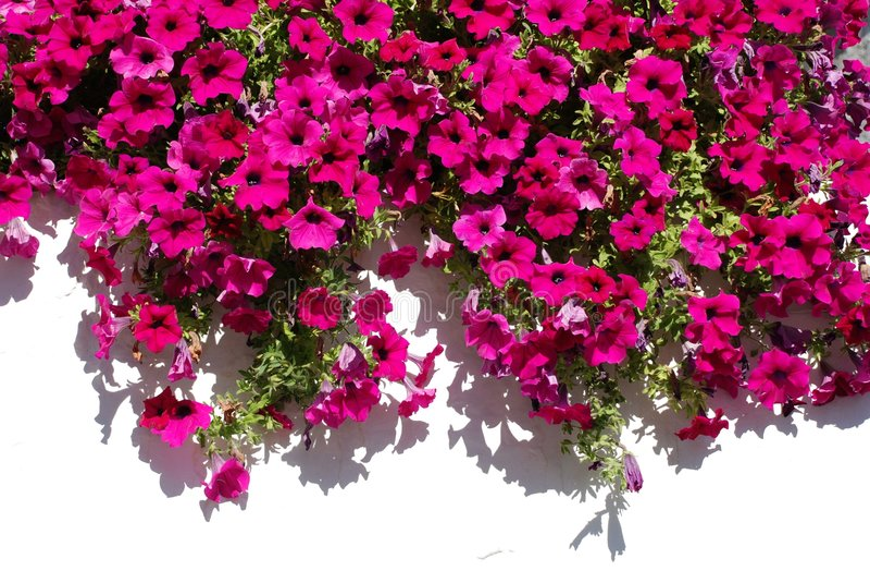 Fleurs fuchsia contre le mur blanc photos libres de droits