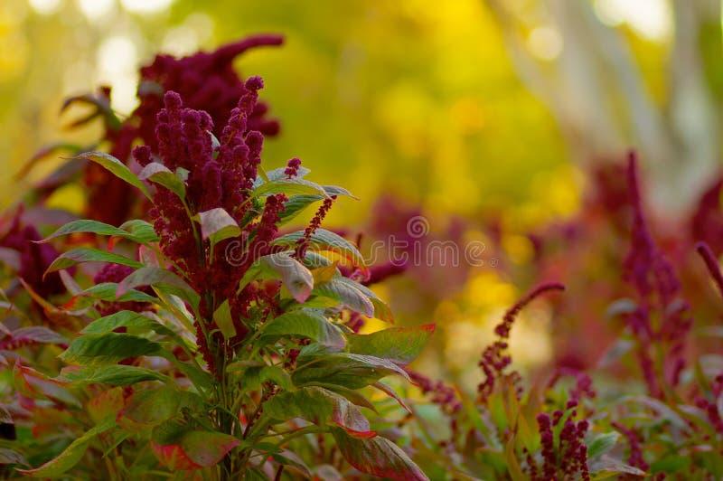 Fleurs gonflées de Burgandy image stock