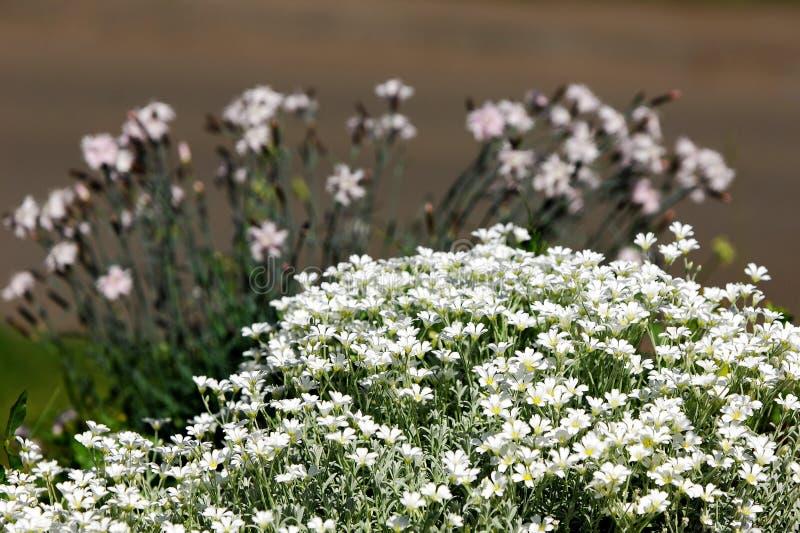 fleurs, Gypsophila photographie stock libre de droits