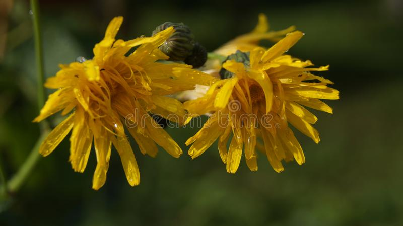 Fleurs humides de pissenlit après pluie photos libres de droits