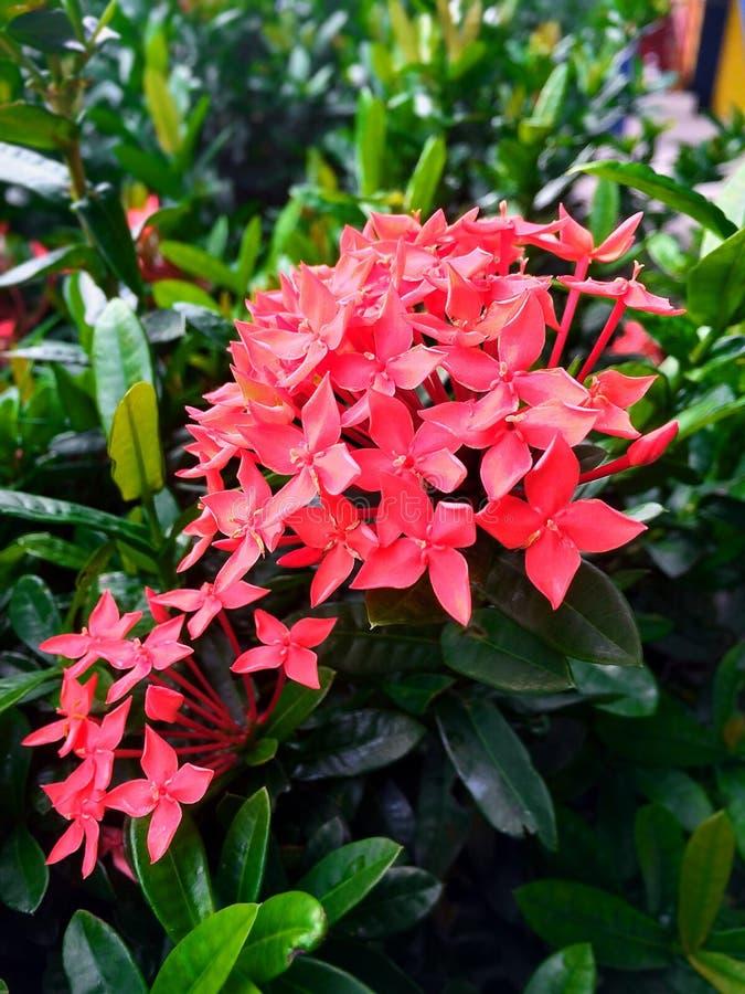 Fleurs Ixora photographie stock libre de droits