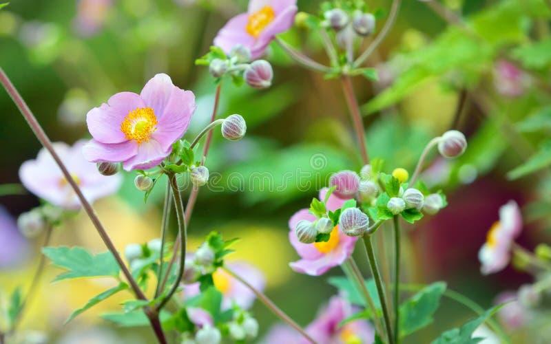 fleurs japonaises d'anémone photos libres de droits
