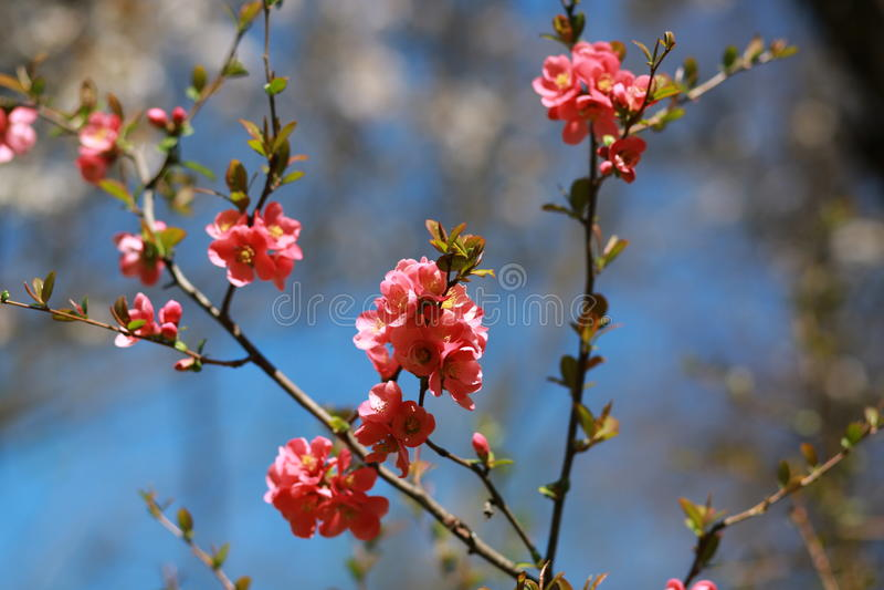 Fleurs japonaises de cerise photo libre de droits