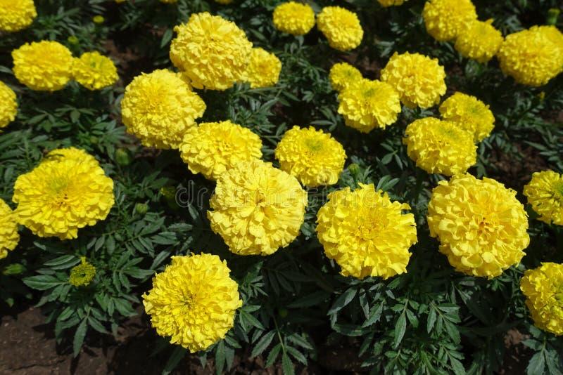 Fleurs jaune-clair d'erecta de Tagetes image libre de droits