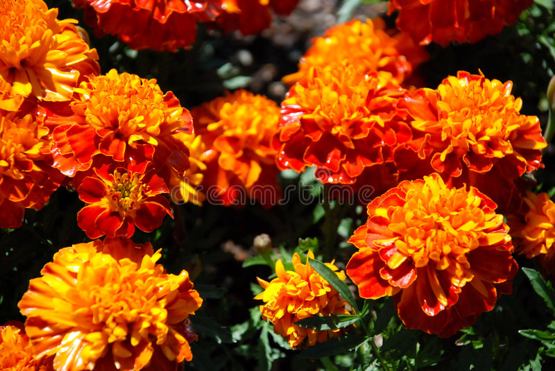 Download Fleurs jaune,orange image stock. Image du fleur, outdoors , 4293575