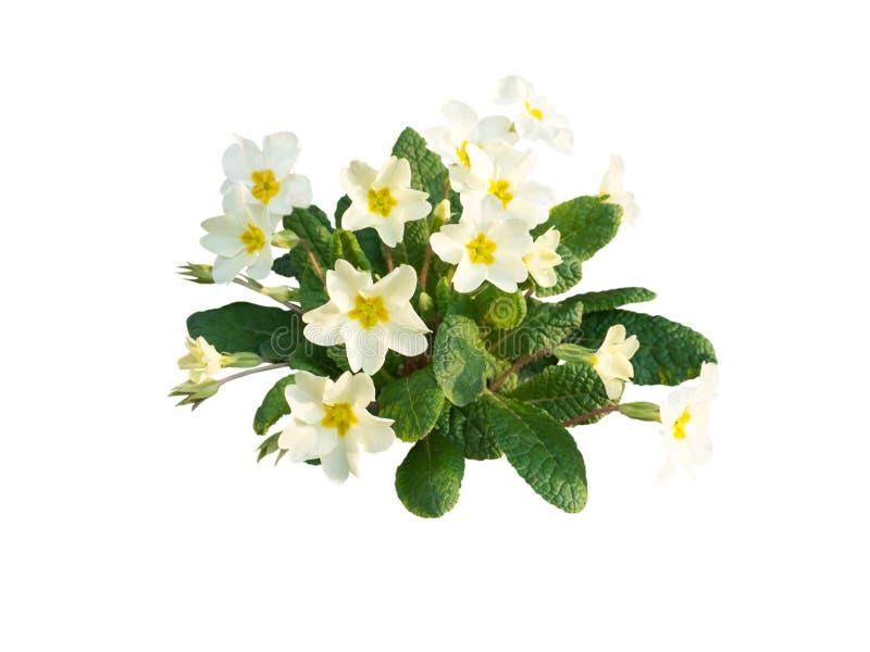 Fleurs jaune pâle vulgaris de primevère photographie stock libre de droits