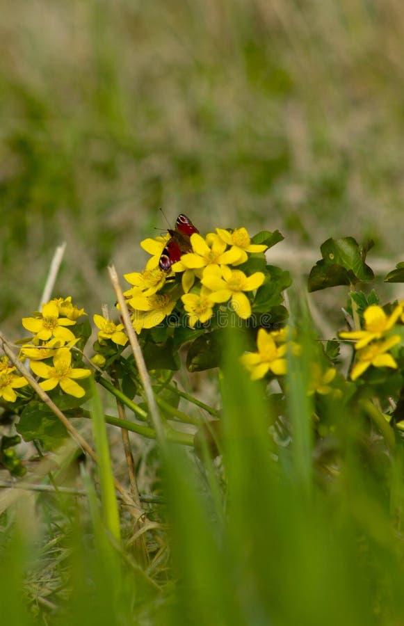 Fleurs jaunes au printemps photographie stock libre de droits