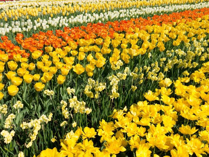 fleurs jaunes au printemps en parc de keukenhof hollande image stock image du flore orange. Black Bedroom Furniture Sets. Home Design Ideas