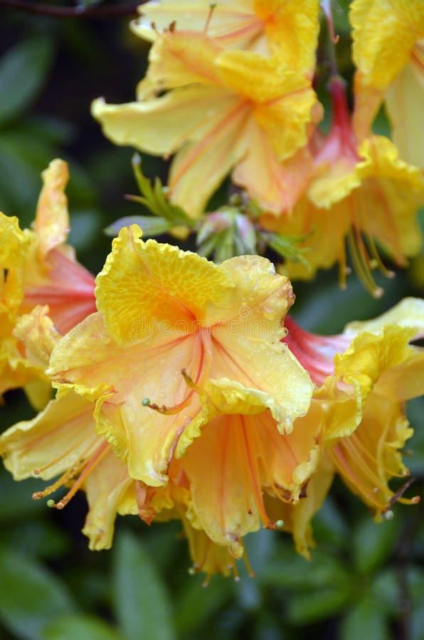 Fleurs jaunes avec des accents rouges photographie stock libre de droits