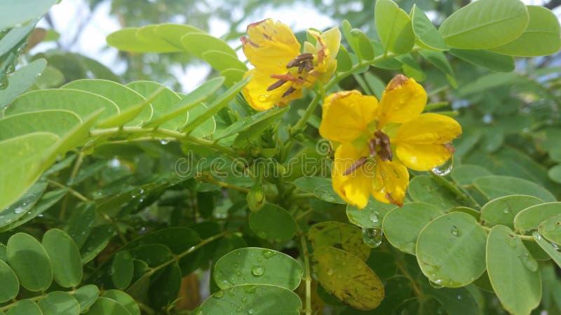 Fleurs jaunes avec des baisses de rosée photographie stock