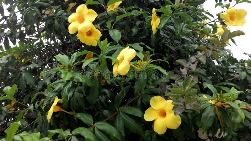 Fleurs jaunes contrairement aux feuilles vertes photo stock