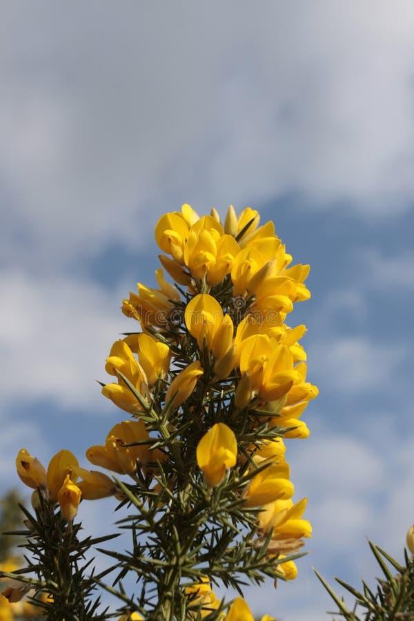 Fleurs jaunes d'ajonc photos libres de droits