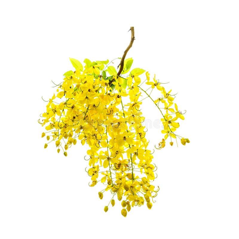 Fleurs jaunes d'arbre de douche d'or en été photographie stock