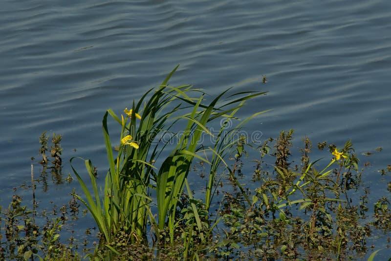 Fleurs jaunes d'iris de l'eau dans l'étang - pseudacorus d'iris photo libre de droits