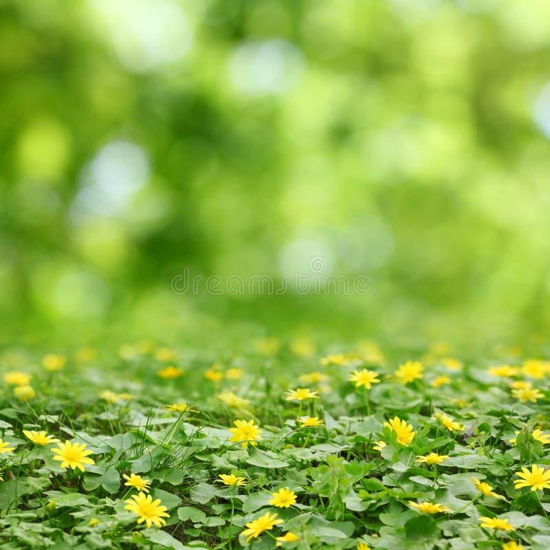 Fleurs jaunes dans l'herbe et le bokeh images libres de droits