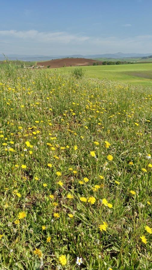 Fleurs jaunes dans le domaine images stock
