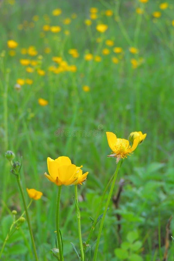 Fleurs jaunes dans le domaine photos libres de droits