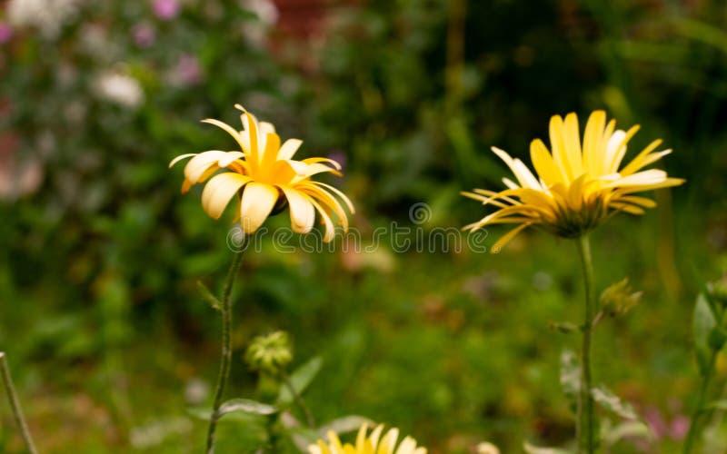 Fleurs jaunes dans le pré en été photos stock