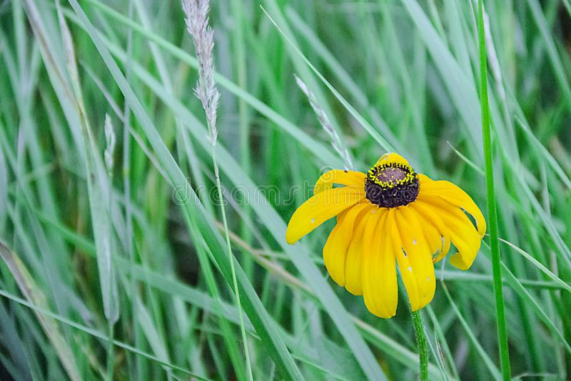 Fleurs jaunes dans un pré images stock