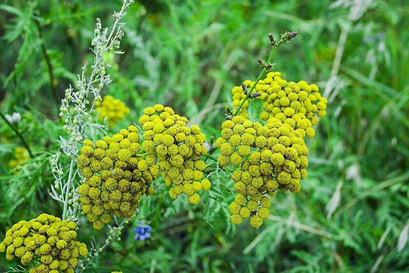 Fleurs jaunes dans un pré images libres de droits
