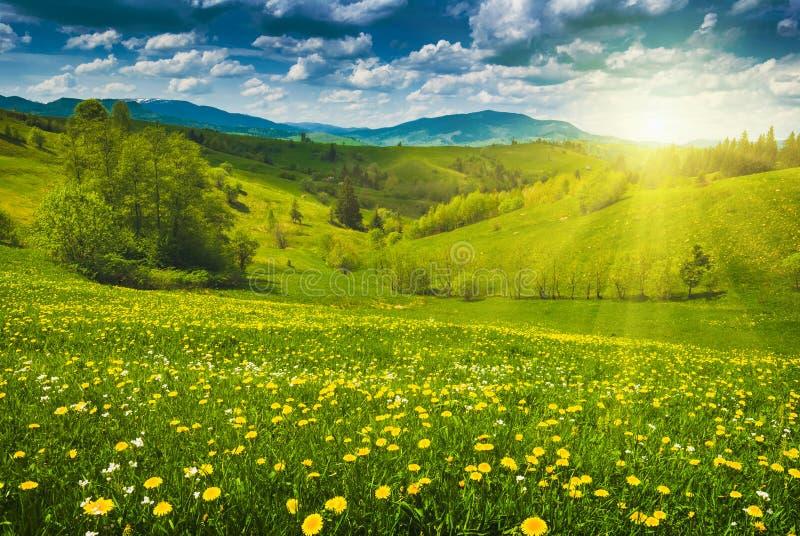 Fleurs jaunes dans un pré de ressort photo stock