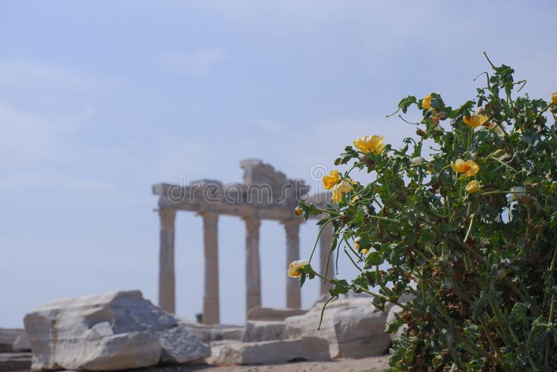 fleurs jaunes de buisson avec les feuilles vertes luxuriantes sur le fond des ruines antiques du temple Apollo image stock
