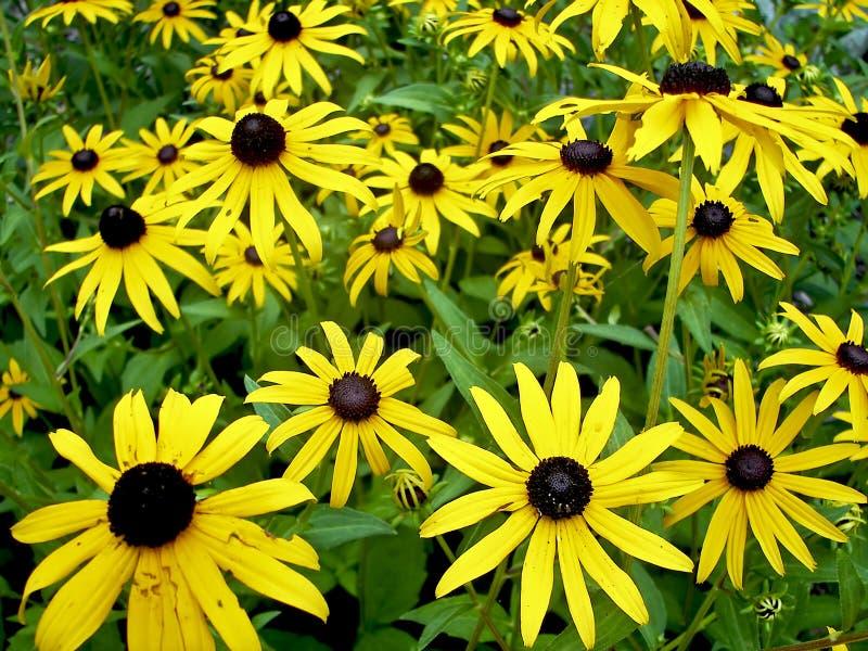 Fleurs jaunes de cône images libres de droits
